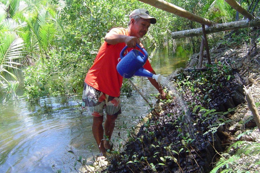 A man waters mangrove plants