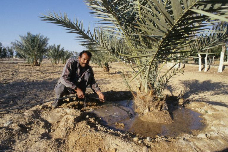 A man watering a palm tree