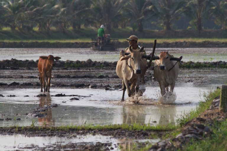 A man and cattle in a flooded field