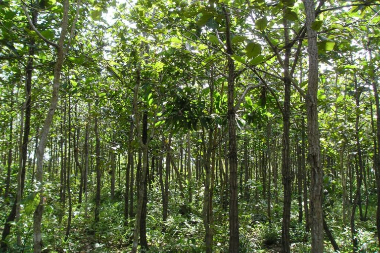 A reforested forest